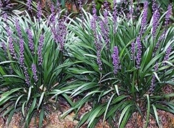 Ebluejay 24 Liriope Big Blue Lily Turf Mature Garden Plants